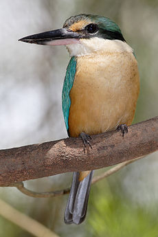 Sacred kingfisher nov08.jpg