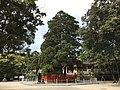 "Sacred tree ""Ayasugi"" in Kashii Shrine 20170502-2.jpg"