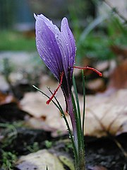 Saffran crocus sativus moist.jpg
