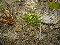 Sagina procumbens plant (34).jpg