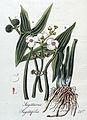 Sagittaria sagittifolia — Flora Batava — Volume v4.jpg