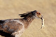 brownish bird with small dead lizard in its mouth