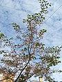 Saint Petersburg. Chinese Garden. Sakura tree2015 02.jpg