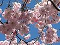 Saint Petersburg. Chinese Garden. Sakura tree2018 08.jpg