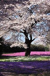 cherry blossoms in fukushima yachounomori garden tatebayashi gunma japan - Japanese Garden Cherry Blossom Paintings