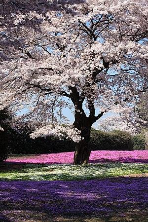 Cherry blossom - Yachounomori Garden, Tatebayashi, Gunma, Japan