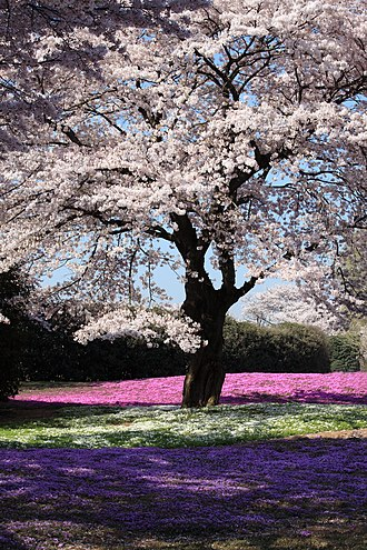National symbols of Japan - Cherry blossom tree