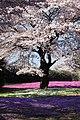 Sakura and Moss Pink - 桜(さくら)と芝桜(しばざくら).jpg