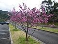 Sakura at Mount Yae 201902 01.JPG
