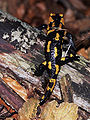 Salamandra plamista 023.jpg