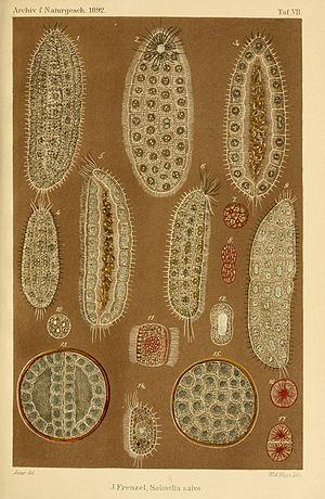 Salinella - Frenzel's illustrations, 1892