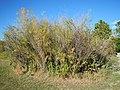 Salix melanopsis (29139654093).jpg