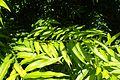 Salix sachalinensis 'Golden Sunshine' kz4.jpg
