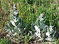Salvia aethiopis-2.jpg