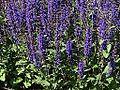 Salvia nemorosa OB10.jpg
