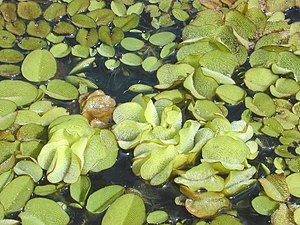 Salvinia molesta - The fern Salvinia molesta floating on a pond surface