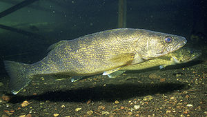 Walleye (Sander vitreus, formerly Stizostedion...