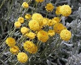 Santolina chamaecyparissus