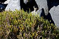 Sarcocornia pillansii (Chenopodiaceae) (36791980233).jpg