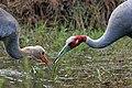 Sarus crane (Grus antigone antigone) feeding juvenile Lumbini.jpg