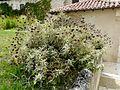 Sauge de Jérusalem Grand-Brassac.jpg