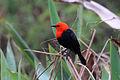 Scarlet-headed blackbird (Amblyramphus holosericeus).JPG