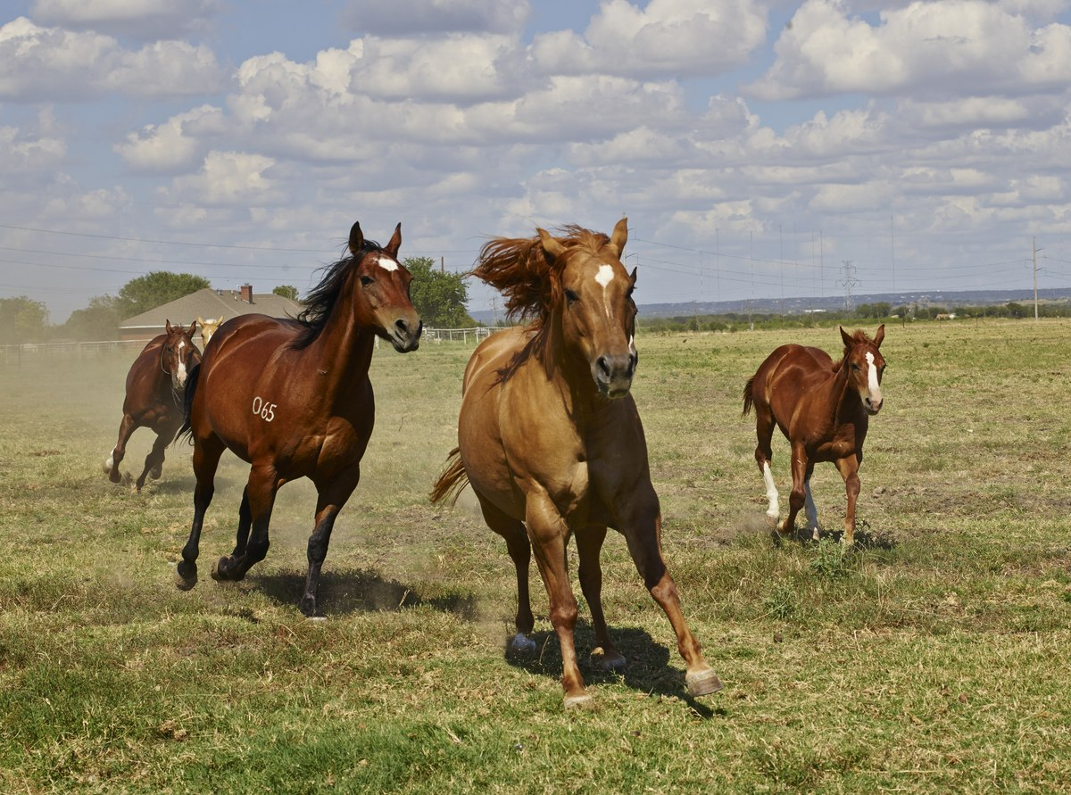 Horses In The United States Wikipedia