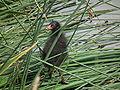 Schwarzer Jungvogel mit rotem Schnabel.JPG