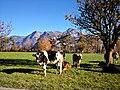Schweiz Sargans Kühe auf Wiese vor Bergen.jpg