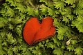 Scutellinia umbrorum (28245828786).jpg