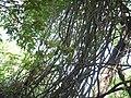 Scutia myrtina (Burm. f.) Kurz (16711528523).jpg