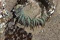 Sea anemone (28758964048).jpg