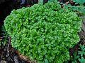 Selaginella apoda OB10.jpg