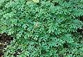 Selaginella uncinata Spring.JPG