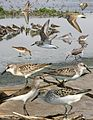 Semi-palmated Sandpiper from The Crossley ID Guide Eastern Birds.jpg
