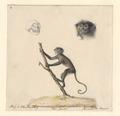 Semnopithecus maurus - 1788-1863 - Print - Iconographia Zoologica - Special Collections University of Amsterdam - UBA01 IZA1000502.tif