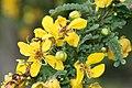 Senna polyphylla 16zz.jpg