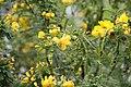 Senna polyphylla 31zz.jpg