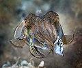 Sepia officinalis - Cuttlefish (7797409412).jpg