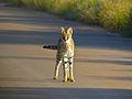 Serval (Leptailurus serval) (14034186795).jpg