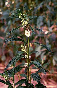 نبات السّمسم 220px-Sesamum_indicum_1.jpg