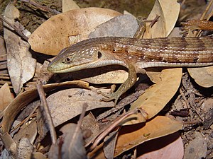 Northern alligator lizard - E. coerulea shastensis