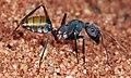 Shattuck C5047-1, Camponotus aurocinctus, Yulara, NT.jpg