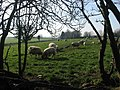 Sheep at Nicholastown, Co. Louth - geograph.org.uk - 687783.jpg