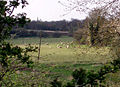 Sheep graze in Hapton viewed from Marsh Lane. - geograph.org.uk - 163532.jpg