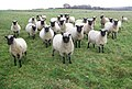 Sheep near Whiteparish - geograph.org.uk - 1052161.jpg