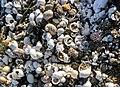 Shells of freshwater molluscs, among them Theodoxus fluiviatilis. Lake Bracciano, Italy.jpg