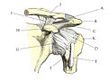 Shoulder joint anatomy quiz.jpg