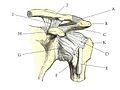 Shoulder joint anatomy quiz.jpg