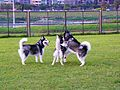 Siberian Huskies Play on Riverside Park Grass 20091212.jpg